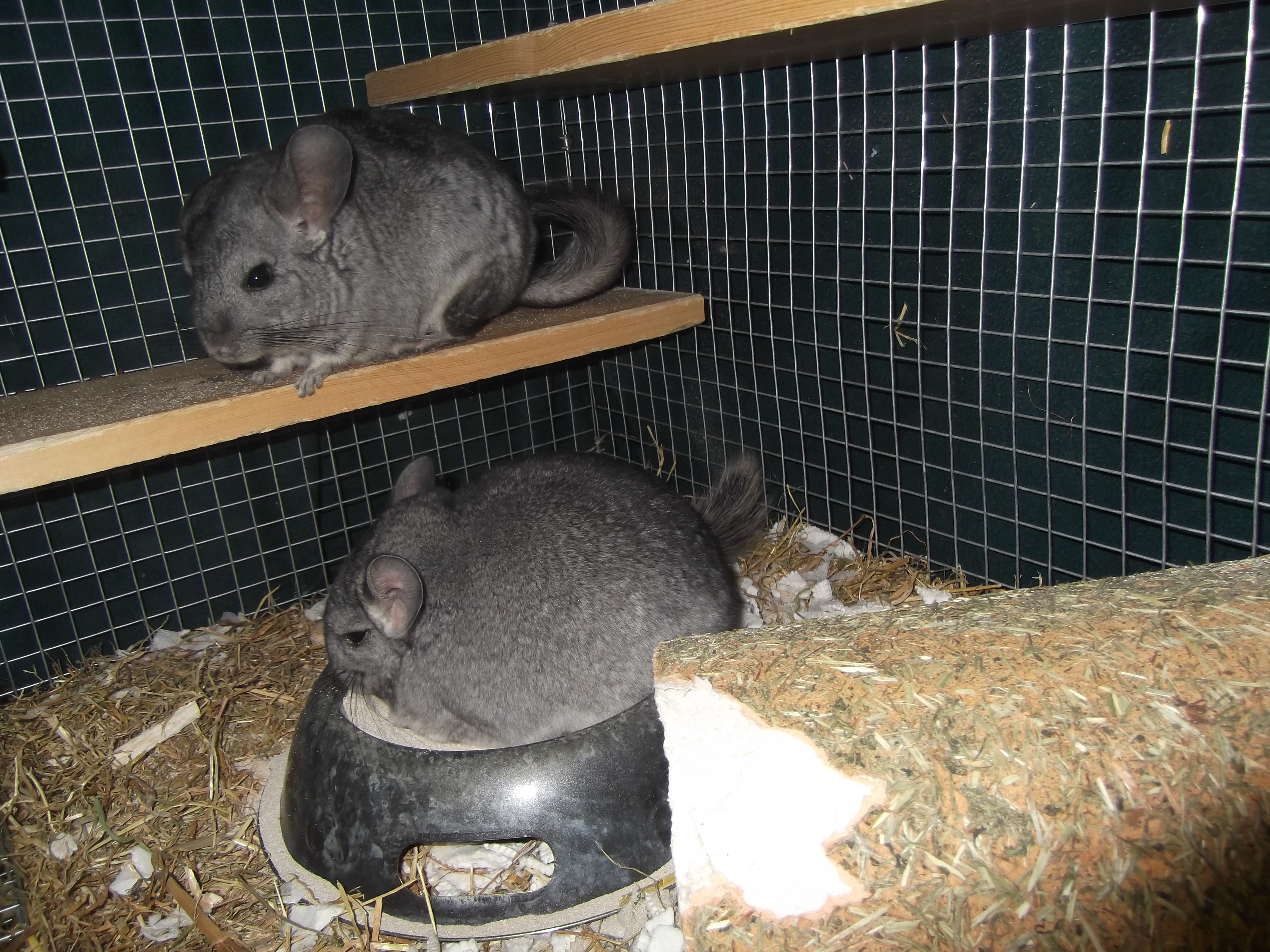 Care and Feeding of Chinchillas  Avian and Exotic Animal