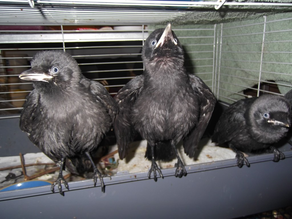 jackdaw chicks