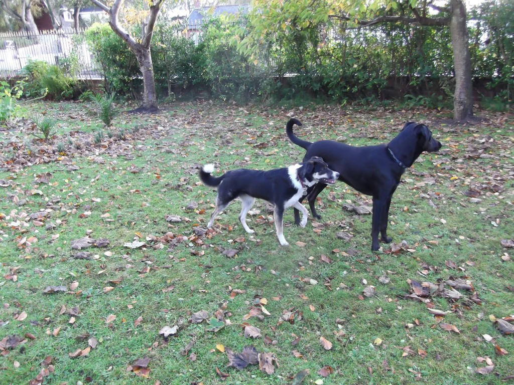 collie and doberman cross