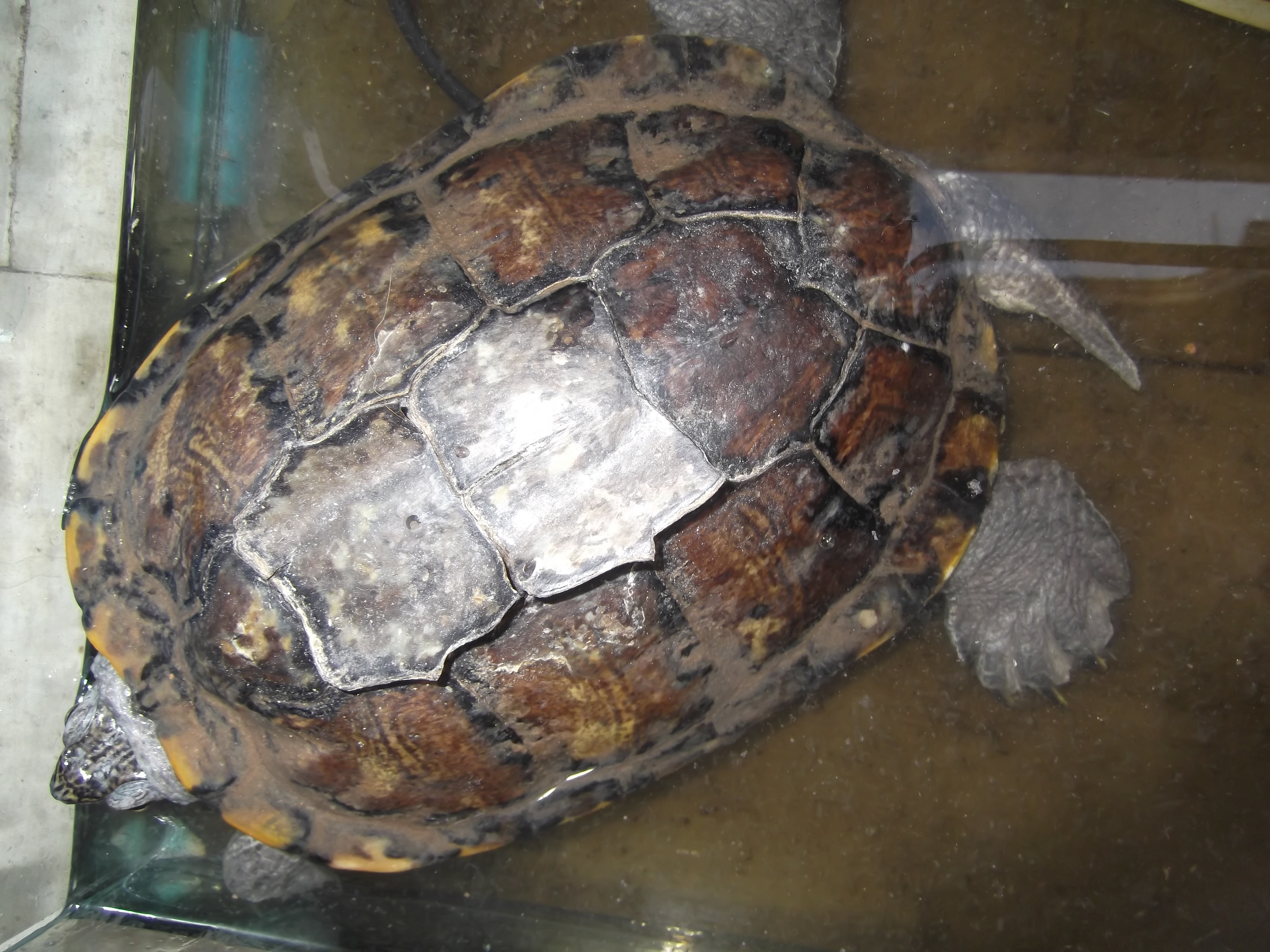 This Terrapin Is In The Process Of Shedding It S Shell If You Look At Sections Middle Can See They Are About To Fall Off